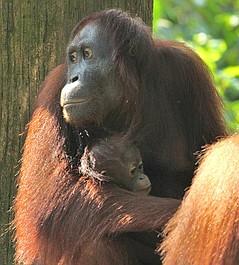 Poznajcie orangutany (6)