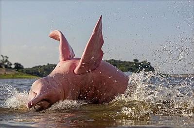 Różowe delfiny z Amazonii